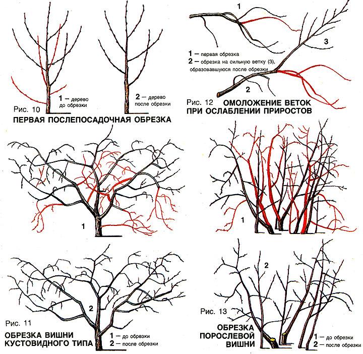 Обрезка вишни весной: видео и описание, как правильно это сделать.
