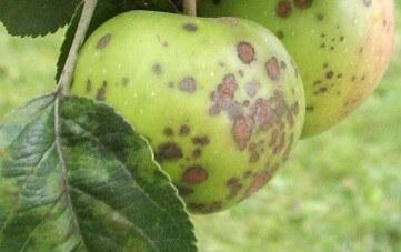 Болезни яблони