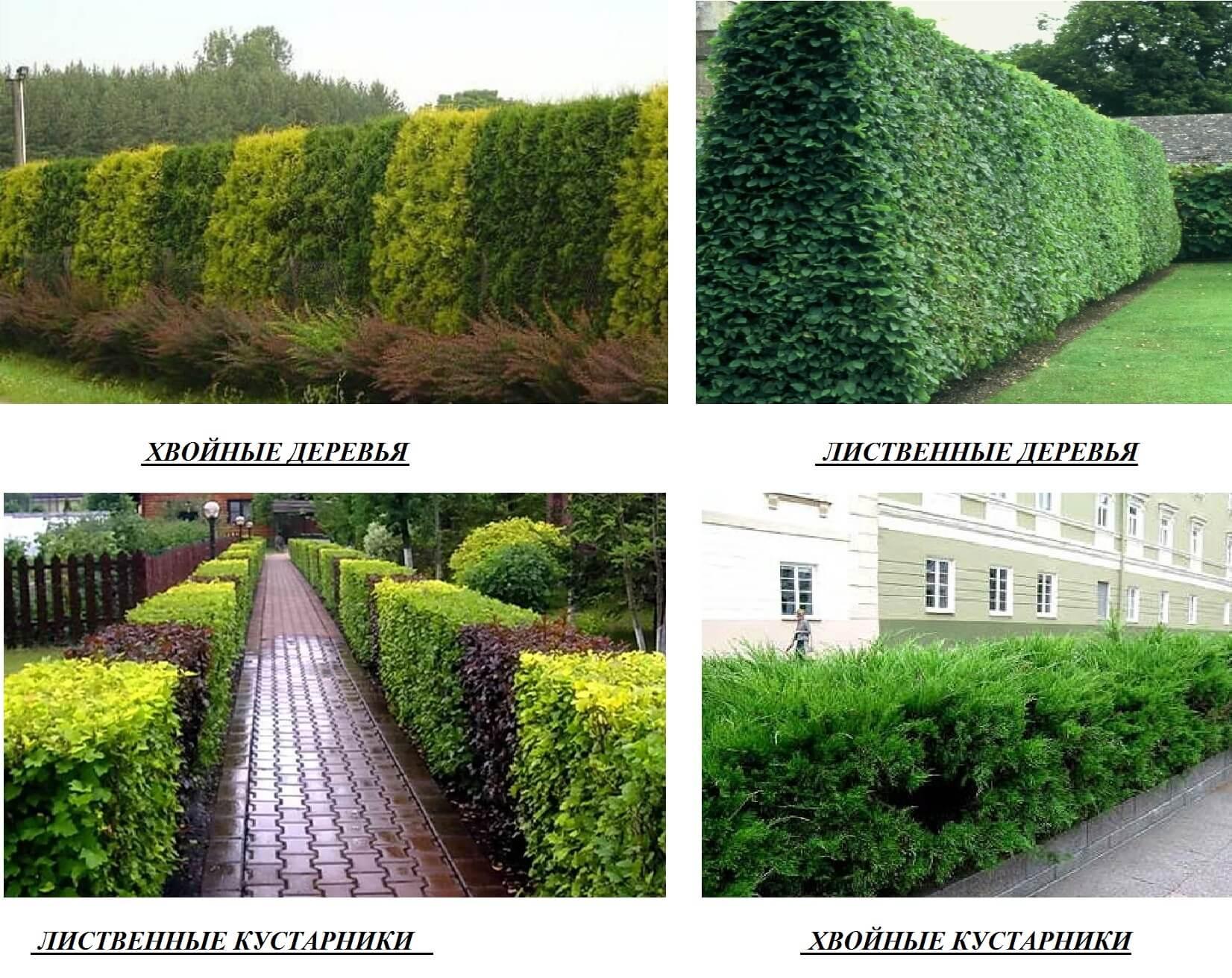 Какие растения подобрать для посадки живой изгороди