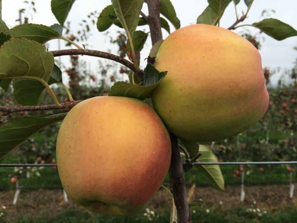 Сорт яблони Банан зимний