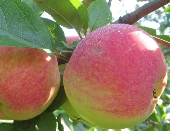 Сорт яблони Сорт яблони Графенштейское