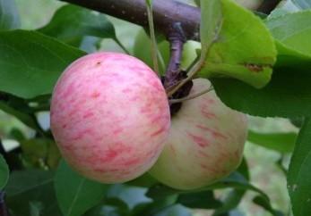 Сорт яблони Гульт-Пембе