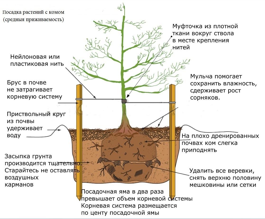 Почему нельзя сажать дуб 3