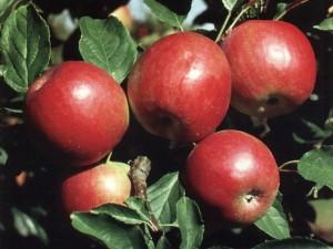 Сорт яблони Вагнера призовое