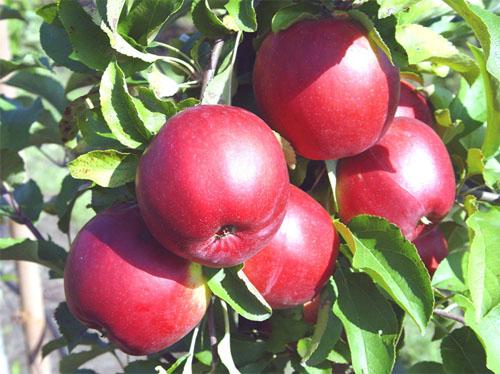 Сорт яблони Джонатан
