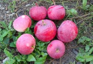 Сорт яблони Астраханское красное