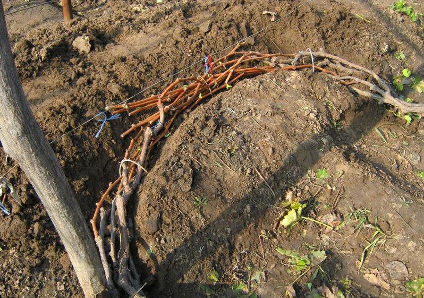 Укрытие винограда почвой