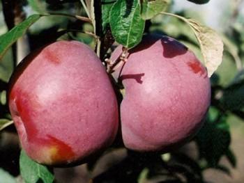 Сорт яблони Мекинтош