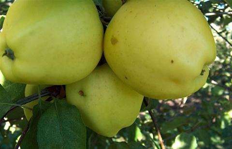 Сорт яблони Кальвиль белый зимний