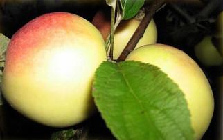 Сорт яблони Кальвиль Снежный