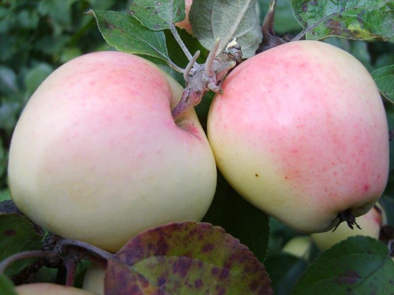 Сорт яблони Голубок рижский. Качественный летний сорт. Завезенный из бывших прибалтийских республик. Устойчив к морозам, болезням и вредителям.