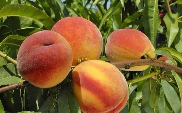 Персик посадка уход