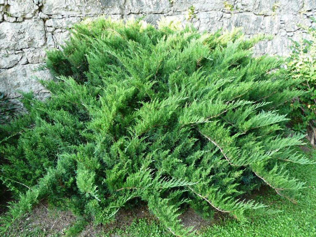 Можжевельник Тамарисцифолия  ' Tamariscifolia '