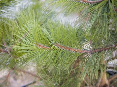 Черная сосна Pinus Nigra-фото описание.