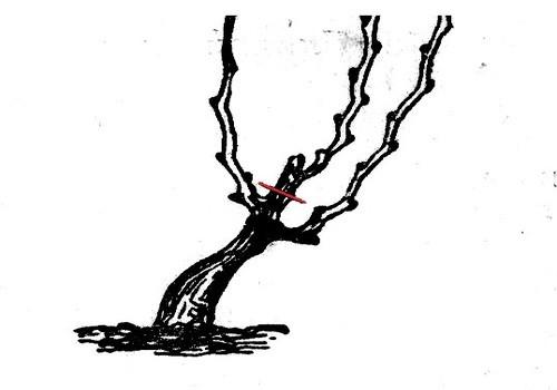 Шпалерная формировка винограда