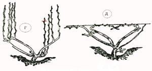 Веерная многорукавная формовка винограда без штамба